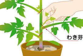 ミニトマトわき芽